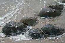 220px-Horseshoe_crab_mating